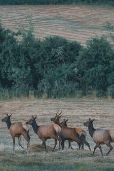 Красивое стадо антилоп, идущее в коричневом поле
