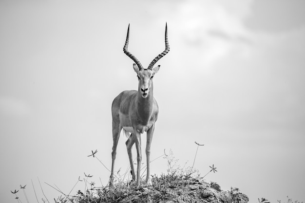 Beautiful antelope with big horns is standing on a hill