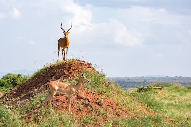 Beautiful antelope with big horns standing on a hill