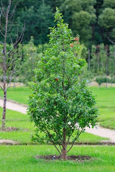 庭の美しいリンゴの木。高品質の写真