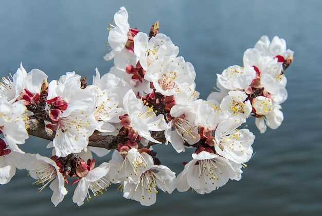 Beautiful apricot flowers on a branch against dark background of river water