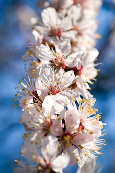 Beautiful apricot white with red pink shades of flowers on fruit trees in the spring season, close - up of fragrant inflorescences in a sunny spring garden