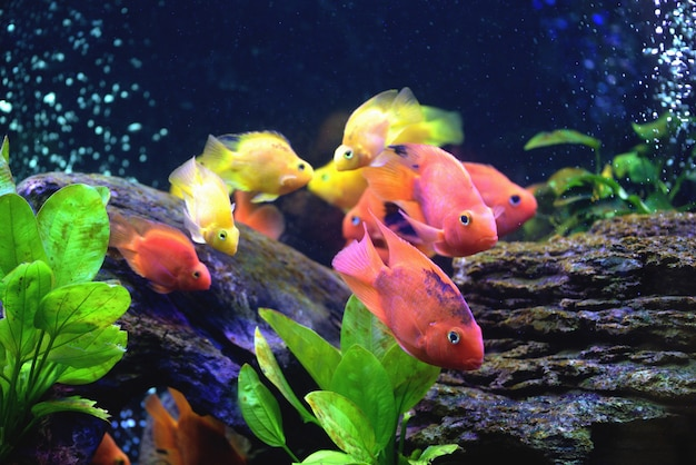 Beautiful aquarium with blood parrot cichlid