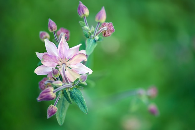 Beautiful aquilegia flower in garden on green blurred . horizontal photography