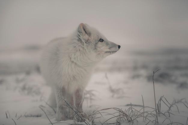 야생 겨울 툰드라의 아름다운 북극 여우.