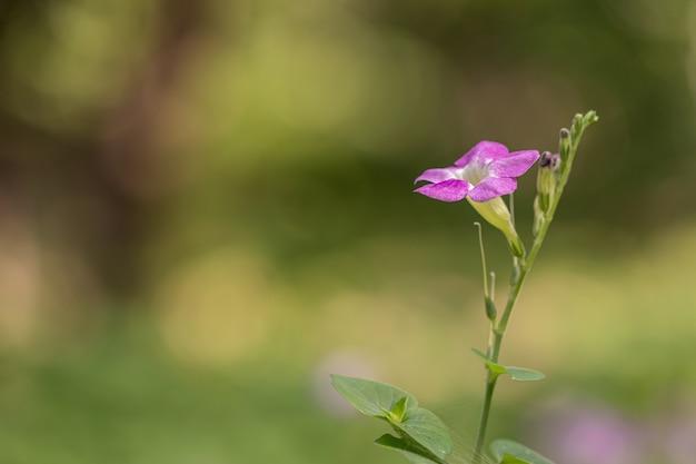 정원에서 아름 다운 asystasia gangetica 꽃입니다. 중국 보라색 코로만 델 또는 기는 디기탈리스라고도합니다.