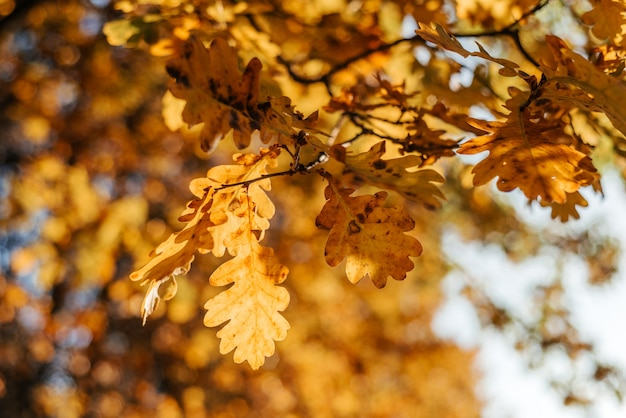 Beautiful autumn background with golden oak leaves and bokeh