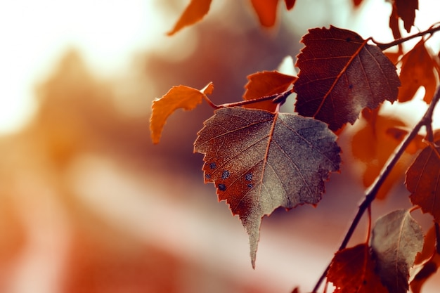 Beautiful autumn leaves on autumn red background sunny daylight horizontal