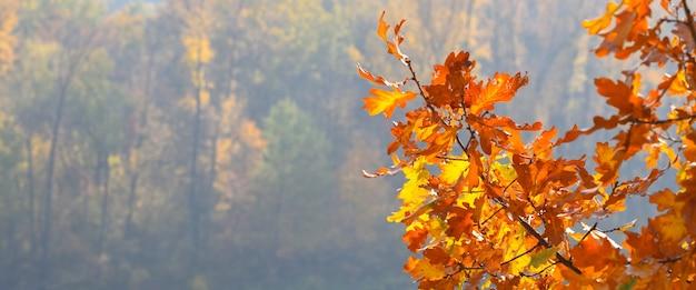 美しい秋のカエデの葉。秋の森の風景。秋の時間シーズンの背景。コピースペース