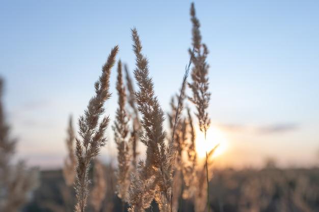 Beautiful autumn photo golden sprig of reeds calamagrostis epigejos against backdrop of sunset sky