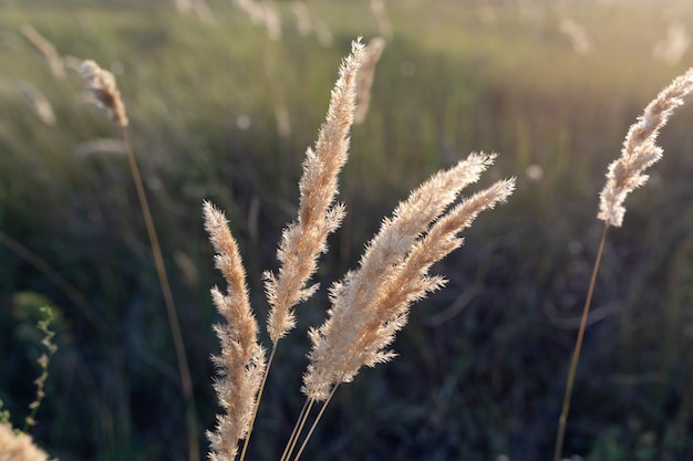 Beautiful autumn photo. golden sprig of reeds calamagrostis epigejos at sunset. selective focus.