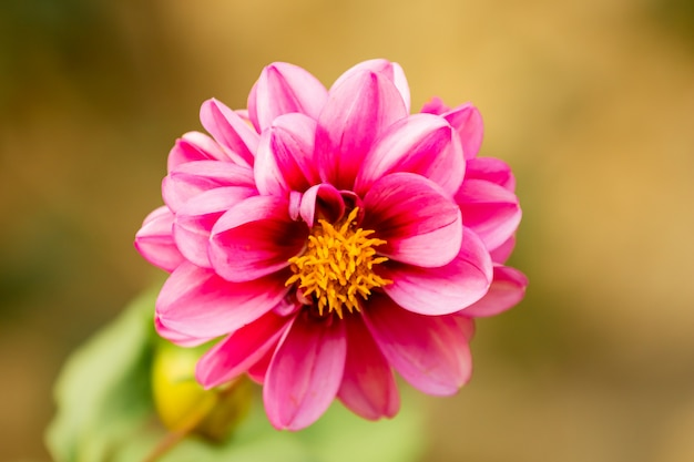 Beautiful autumn selective focus of pink common zinnia flower