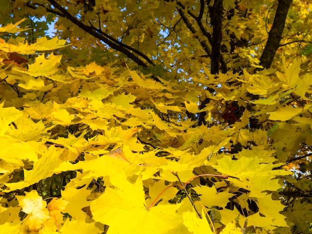 Красивый осенний солнечный фон. желтые ветки клена