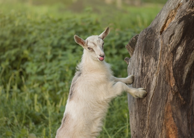 Beautiful baby goat at rural meadow. white young goat at sunset