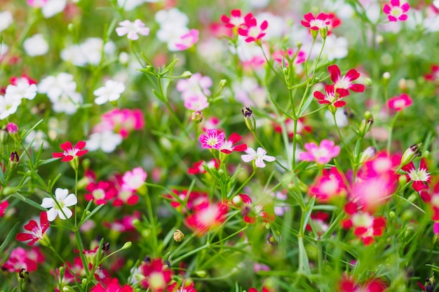 緑の牧草地に美しいカスミソウの花
