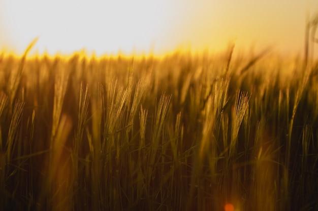 A beautiful backdrop of ripening ears of golden fields