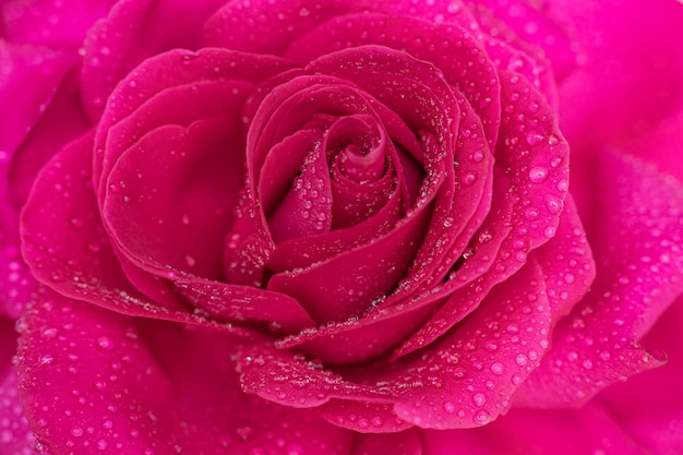 Beautiful background big pink rose in dewdrops close-up
