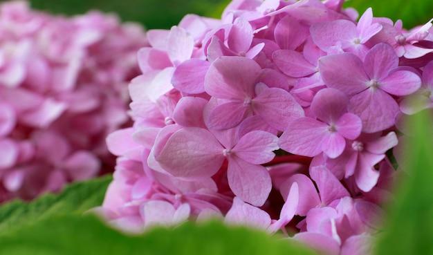 컴퓨터, 전화, 스마트폰을 위한 아름다운 배경. 수국, 분홍 꽃은 여름에 해질녘에 마을 정원에서 피고 있습니다.