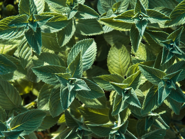 Beautiful background of mint leaves for your text