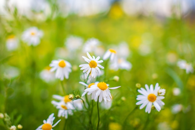 많은 피 데이지 필드의 아름 다운 배경입니다. 카모마일 잔디. 봄날의 아름다운 초원