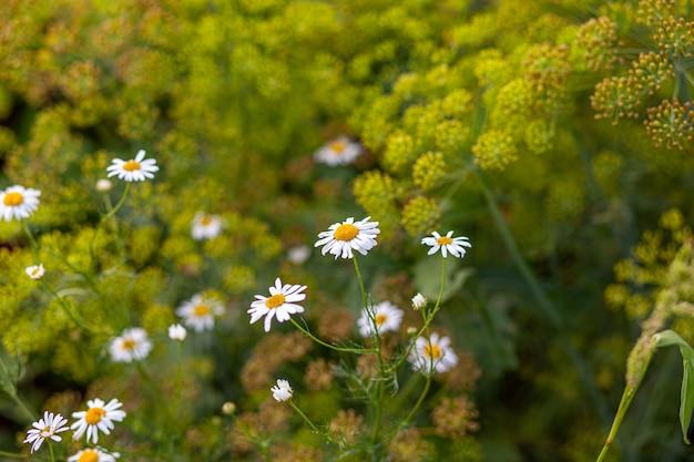 많은 피 데이지 필드의 아름 다운 배경입니다. 카모마일 잔디 클로즈업입니다. 흰 노란 꽃과 푸른 풀이 있는 꽃이 만발한 데이지로 가득한 봄철의 아름다운 초원