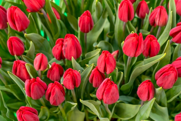 튤립의 아름 다운 배경입니다. 꽃 축제 자연 배경입니다.