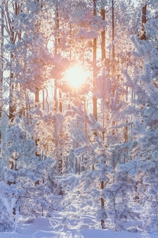 Beautiful background with sun and branches with snow.