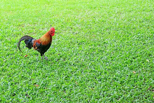 Красивый петух бантам, гуляющий по полю зеленой травы