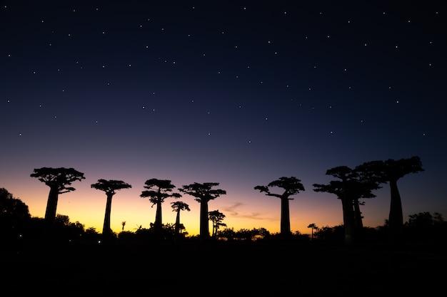 Красивый проспект баобабов на закате