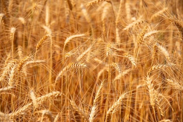Beautiful barley fields golden yellow.