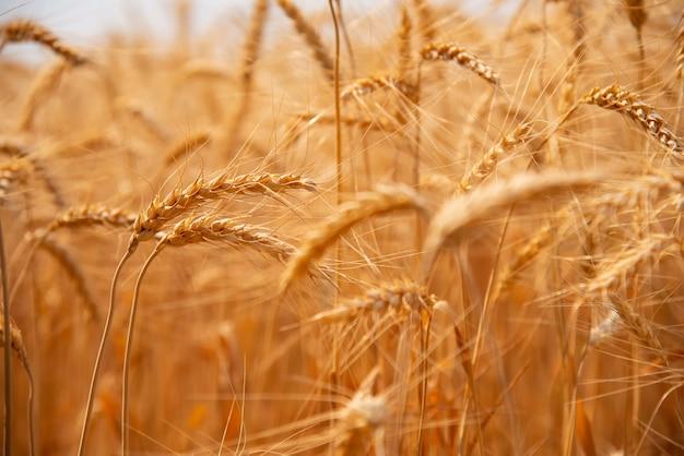 Beautiful barley fields golden yellow