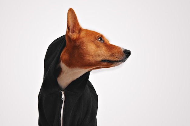 Beautiful basenji dog in black casual hoodie with hood on and protruded ear, looking sideways with white walls