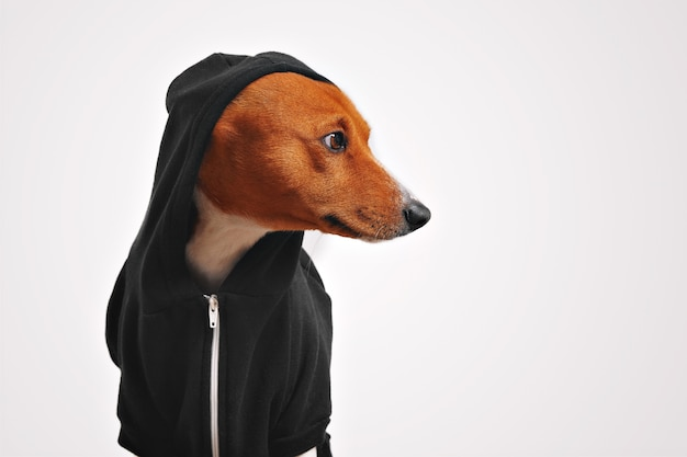 Beautiful basenji dog in black hoodie with hood on looking sideways with white walls
