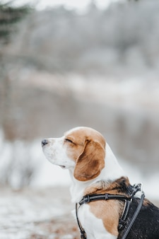 Beautiful beagle dog walking in the winter forest in the daytime