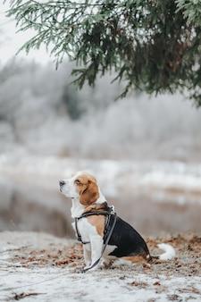 Bellissimo cane beagle che cammina di giorno nella foresta invernale