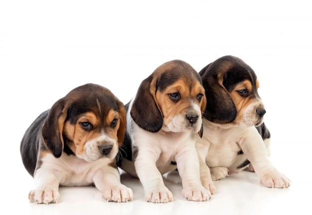 Beautiful beagle puppies brown and black