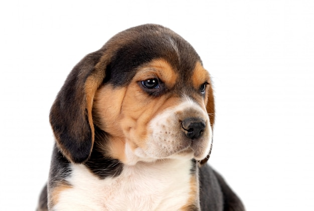 Beautiful beagle puppy brown and black