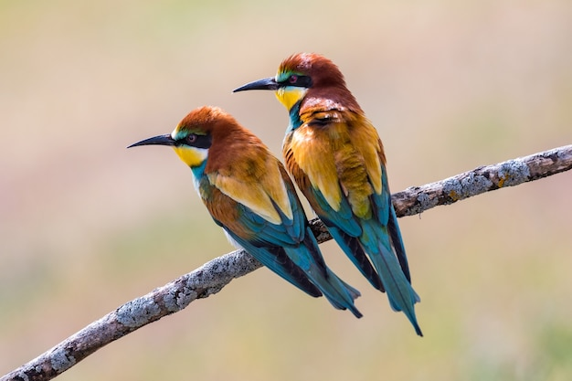 Beautiful bee-eaters perched on a branch in the meadow
