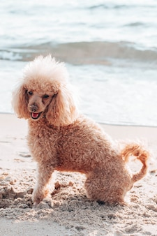 Beautiful beige color poodle dog sits on the beach near the sea. vacation and travel with pets