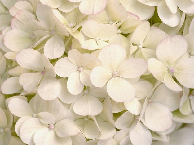 아름 다운 베이지 색 hortensia를 닫습니다. 예술적 자연 배경.
