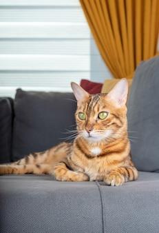 部屋のソファで休んでいる美しいベンガル猫