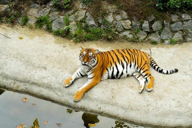 아름다운 벵골 호랑이는 동물원의 연못 유역에 있습니다. 동물원 개념. 임신 한 호랑이는 휴식을 취합니다.