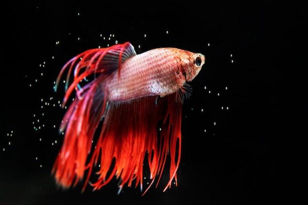 ドレス黒の背景を持つ美しいベタの魚