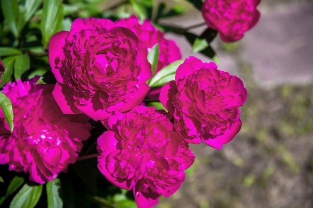 Красивые большие цветущие красные цветы пиона в весеннем саду