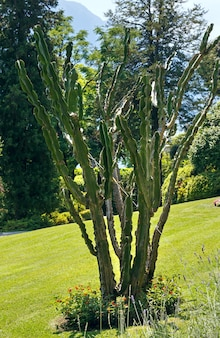 Красивый большой кактус в летнем городском парке.