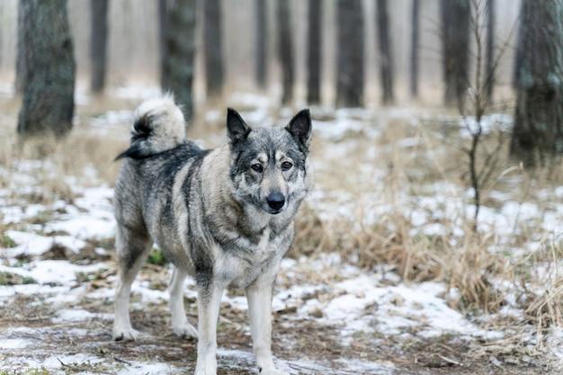 Красивая большая собака в зимнем лесу