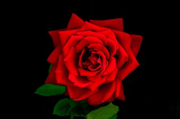 검은 배경에 있는 아름다운 크고 신선한 장미는 단단한 붉은 색과 비네트가 추가된 낮은 키 톤