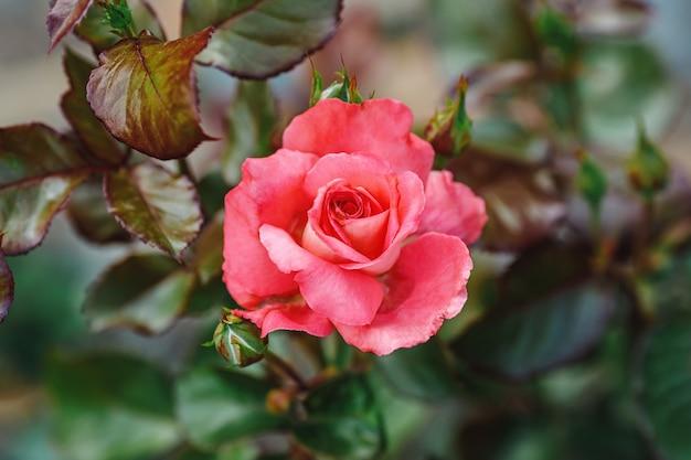 庭の美しい大きなピンクのバラ