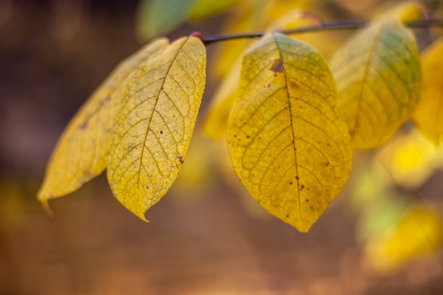 Красивые большие желтые листья на ветке осенью. избирательный мягкий фокус на одном листе.