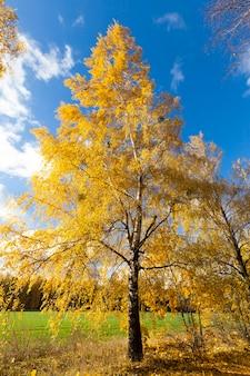 秋の季節に色が変わった美しい白樺の葉、木の性質のクローズアップ